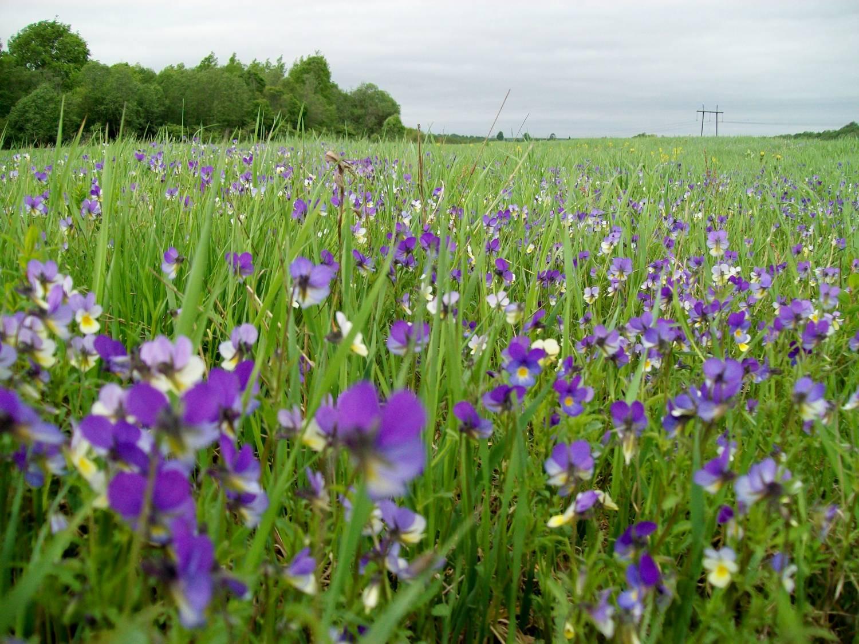 Фото цветов полевые и культурные
